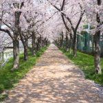 常盤平桜祭り!2018年の日程は?駐車場や交通規制情報も!