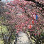 名護桜祭り!2019年のプログラムは?駐車場情報もどうぞ!