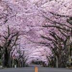 伊豆高原桜まつり!2019年の日程!駐車場や開花状況は?