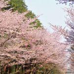 伊豆高原桜まつり!2018年の日程!駐車場や開花状況は?