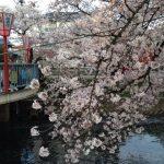岩倉桜祭り!2018年の日程!駐車場や屋台情報は?