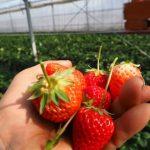 越谷でイチゴ狩り!おすすめ農園情報をまとめてみた!