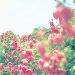 福山バラ祭り2019の日程!駐車場や交通規制情報もどうぞ!