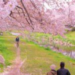 小金井公園の桜まつり 2019年!駐車場や開花状況はココ!